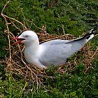 Seagull nesting, Phillip Island, Victoria. by johnrf