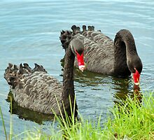 Black Swans on Lake Monger by Eve Parry