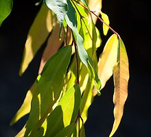 Backlit Gum Leaves by Helen Barnett