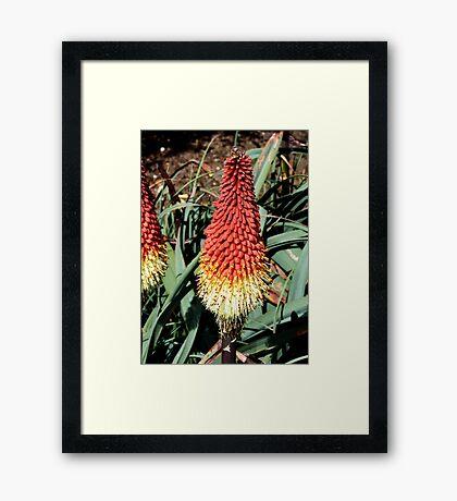 RedHot Poker / Kniphofia / Torch Lily Framed Print