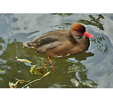 Red Crested Pochard Photographic Print