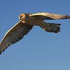 Beautiful Harrier by byronbackyard