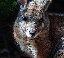 Wallaby by Rob Hawkins