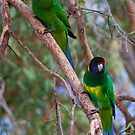 Ringnecked Parrots in the woods  by Rob Hawkins