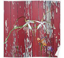 Longicordia Orchid with Red Painted Wall, native orchids of Western Australia. Poster