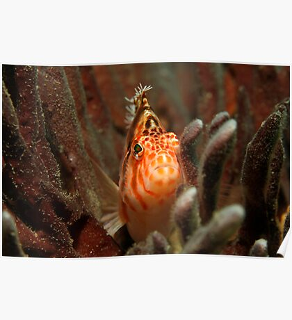 Fly Point Hawkfish Poster