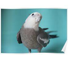 Cockatiel 1 Poster