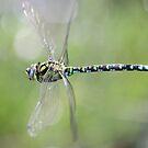 Dragonfly in flight by DutchLumix