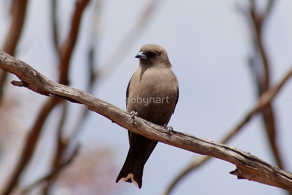 Little Wood Swallow,Coolgardie. West Australia by robynart