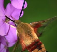 Clearwing Hummingbird Moth II Sticker
