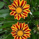 Treasure Flower - Gazania Rigens by vbk70