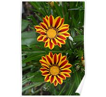 Treasure Flower - Gazania Rigens Poster