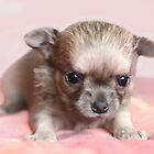 Cute Chihuahuas by MayJ