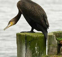 Great Cormorant at the pole by Frank Olsen