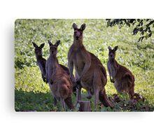 Kangaroos, South West Australia Canvas Print