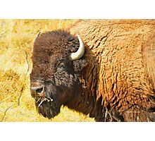 Bison near Browning, Montana, Wildlife Photo Photographic Print