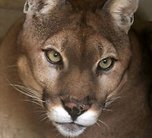 Portrait of a Cougar by Sabrina Ryan
