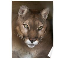 Portrait of a Cougar Poster