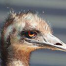 Emu Tidbinbilla by Kevin Brett