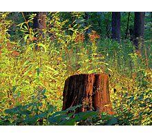 The Shining Stump Photographic Print