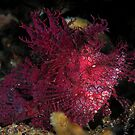 Weedy Scorpionfish by MattTworkowski