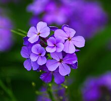 A simple purple flower by Jeffrey J. Miller