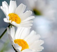 White Daisies by MayJ