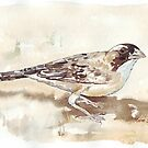 White-browed Sparrow Weaver (Koringvoël) by Maree Clarkson