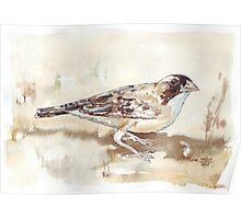 White-browed Sparrow Weaver (Koringvoël) Poster
