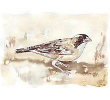 White-browed Sparrow Weaver (Koringvoël) Photographic Print