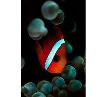 Anemone Fish Photographic Print