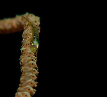 Whip Coral Goby by Snapperazzi Underwater Photography