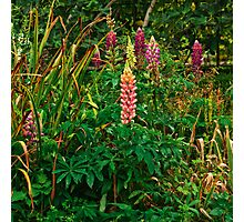 Lupins in the Pond Garden Photographic Print
