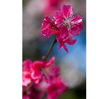 Flowering peach Photographic Print