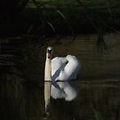 Swan on Shaded River by Charlotte Utton