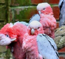 Grooming galahs Sticker