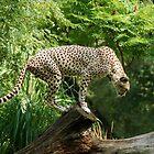 Africa Wild by Daniel B McNeill