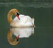 Mute Swan on Reflection by Heather Pickard