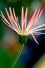 Elegant Daisy by Renee Hubbard Fine Art Photography