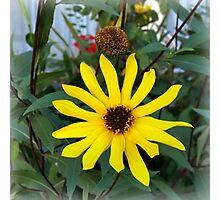 yellow flower in the autumn sun Photographic Print