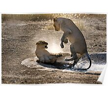 Young Lions at play in waterhole Poster