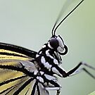Paper Kite (idea leuconoe ) by SuddenJim