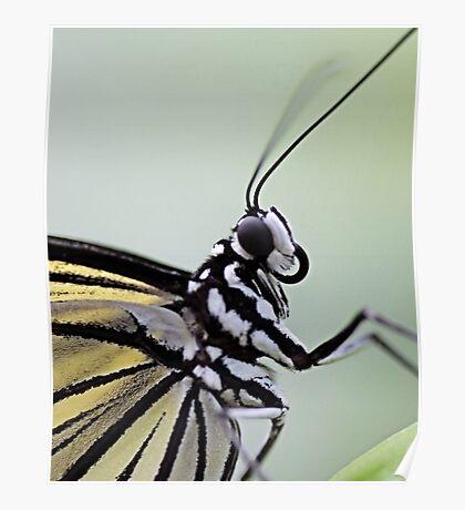 Paper Kite (idea leuconoe ) Poster