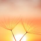 Dandelion Sunset 002 by Qnita