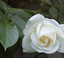 White rose by Ivo Velinov