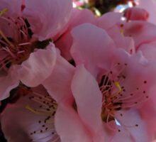 Pink Blossum Sticker