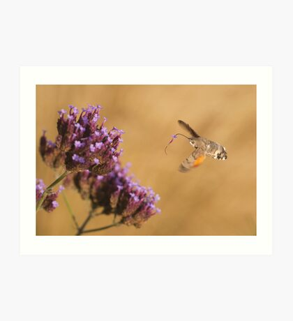 Hummingbird Hawk-moth with Flower stuck on its Proboscis Art Print