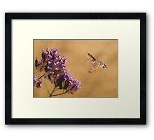 Hummingbird Hawk-moth with Flower stuck on its Proboscis Framed Print
