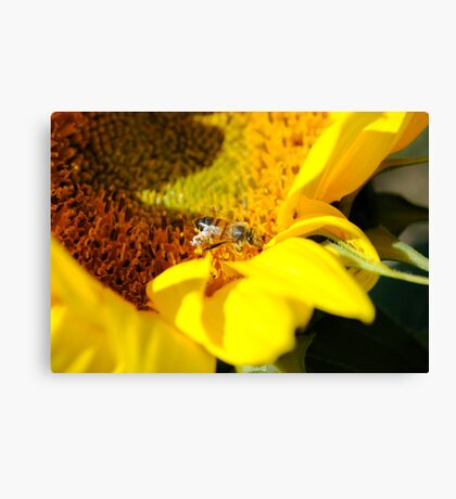 Working the last of the Sunflowers Canvas Print