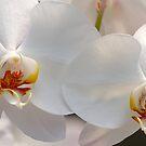 Orchid by JGetsinger